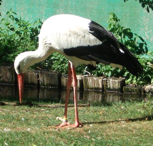 Weißstorch (Vogelpark Olching)