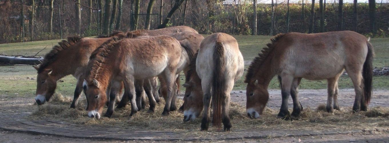 Przewalski-Pferd (Tierpark Hellabrunn)