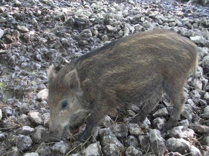 Wildschweinferkel (Wildpark Poing)