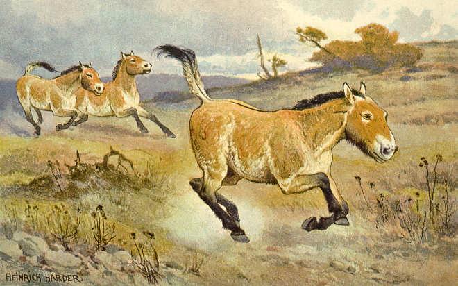 Przewalski-Pferd (Heinrich Harder)