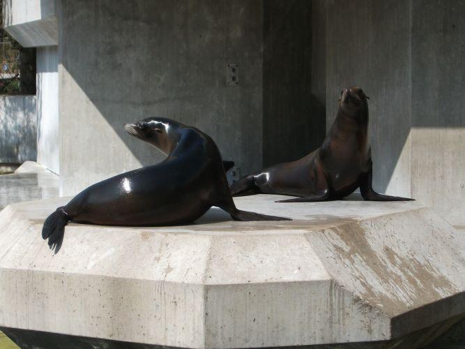 Kalifornischer Seelöwe (Tierpark Hellabrunn)