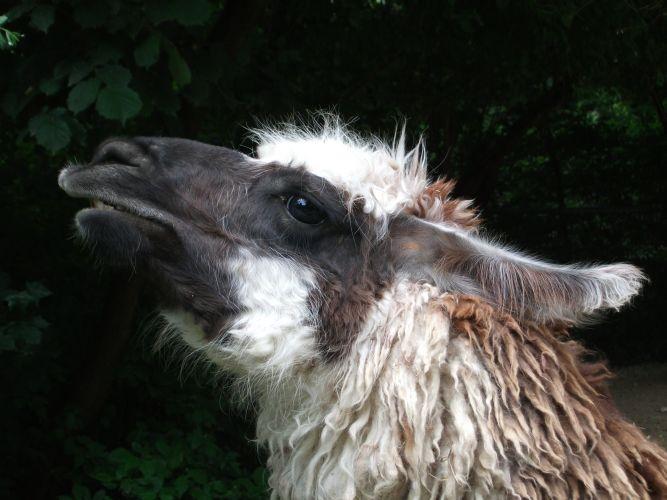 Lama (Tierpark Hellabrunn)