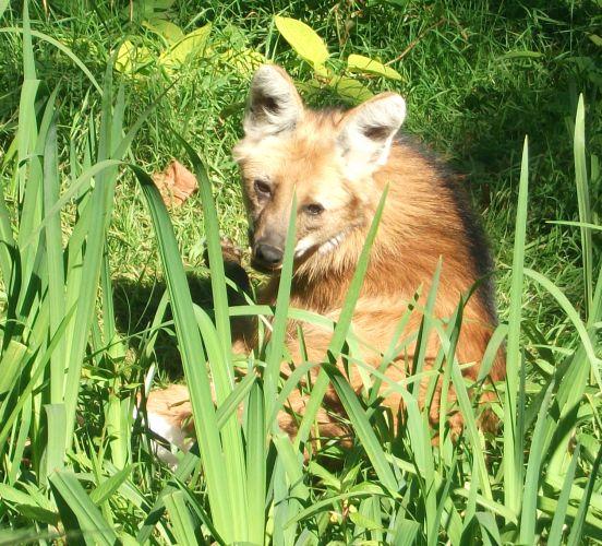Mähnenwolf (Tierpark Hellabrunn)