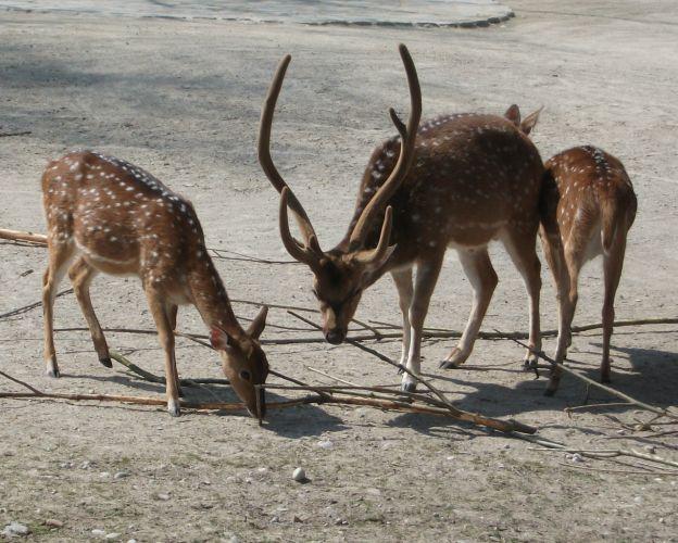 Axishirsch (Tierpark Hellabrunn)