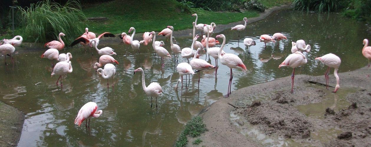 Chileflamingos (Zoo Salzburg)