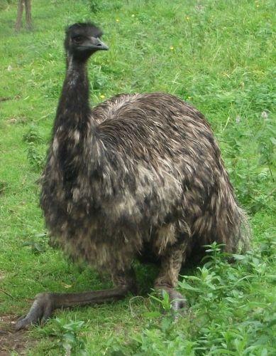 Emu (Raritätenzoo Ebbs)
