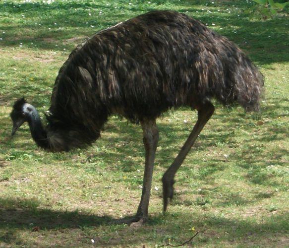 Emu (Tiergarten Nürnberg)