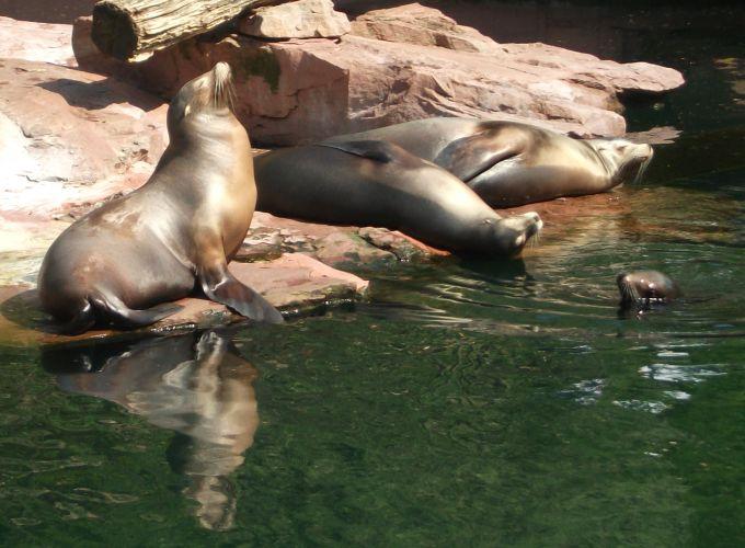 Kalifornischer Seelöwe (Tiergarten Nürnberg)
