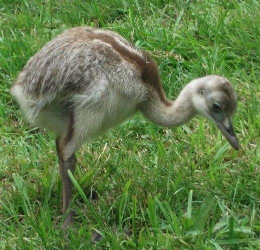 Nandu, Jungvogel (Vogelpark Irgenöd)