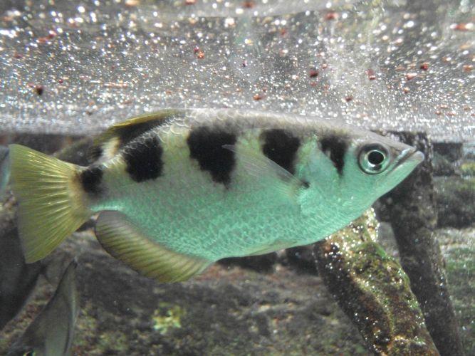 Schützenfisch (Tierpark Hellabrunn)