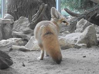 Wüstenfuchs (Zoo Augsburg)