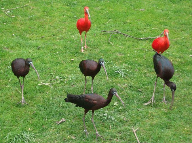 Braune und Rote Sichler (Tierpark Hellabrunn)