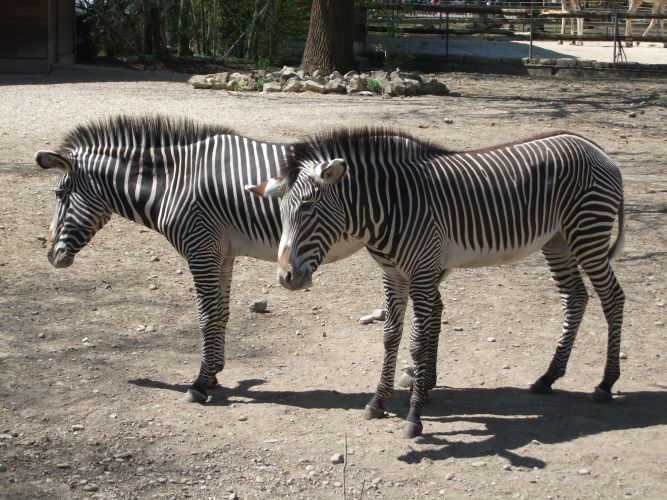 Grevy-Zebra (Zoo Augsburg)