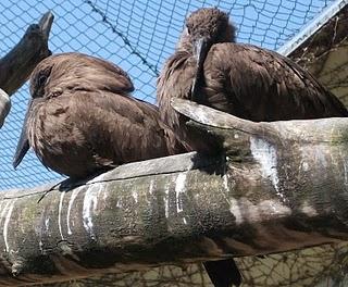 Hammerkopf (Zoo Augsburg)