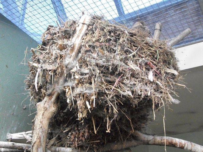 Hammerkopf mit Nest (Zoo Augsburg)