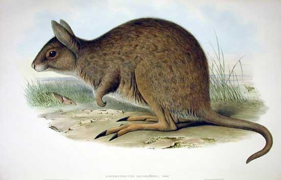 Östliches Hasenkänguru (John Gould)