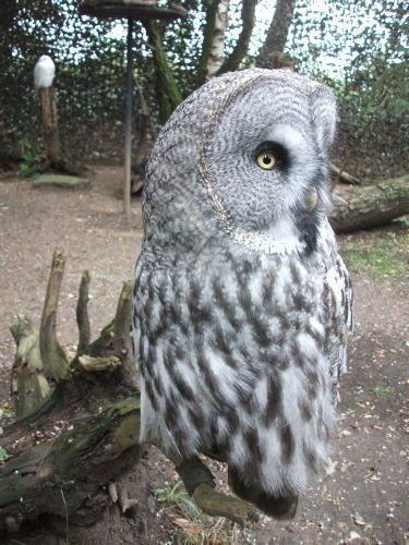 Bartkauz (Zoo Duisburg)