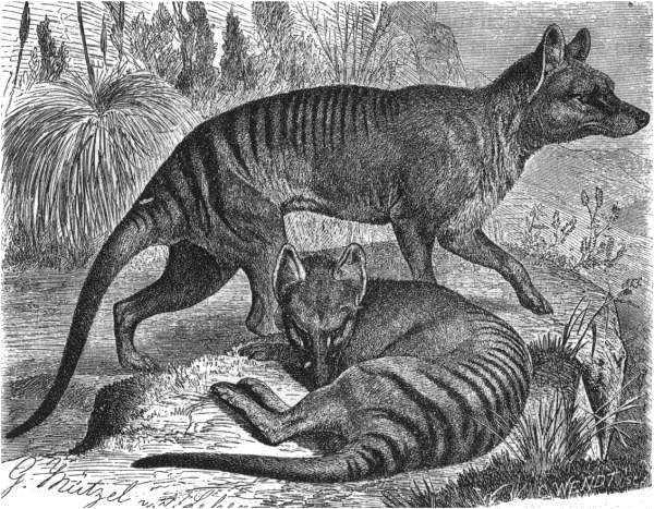 Beutelwolf (Brehms Tierleben)