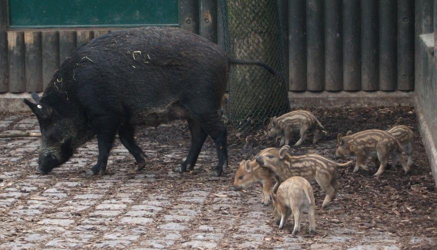 Münchner Borstelchen (Tierpark Hellabrunn)