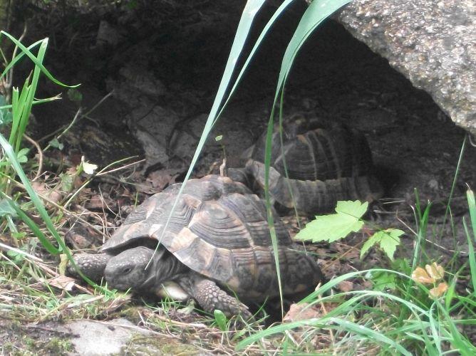 Griechische Landschildkröte (Zoo Wels)