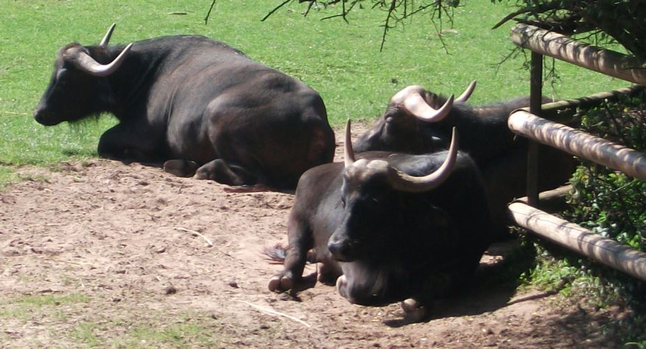 Afrikanischer Büffel (Tiergarten Nürnberg)