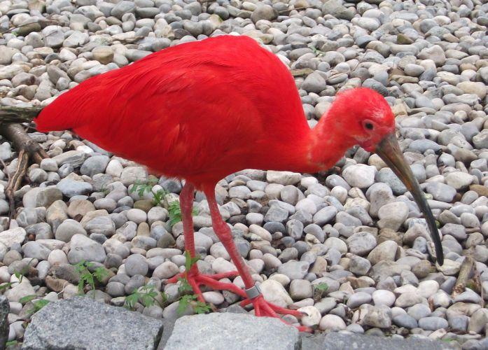 Roter Sichler (Tierpark Hellabrunn)