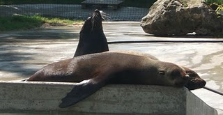 Südafrikanischer Seebär (Zoo Augsburg)