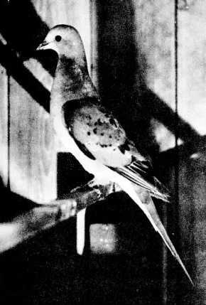 Wandertaube (J. G. Hubbard)