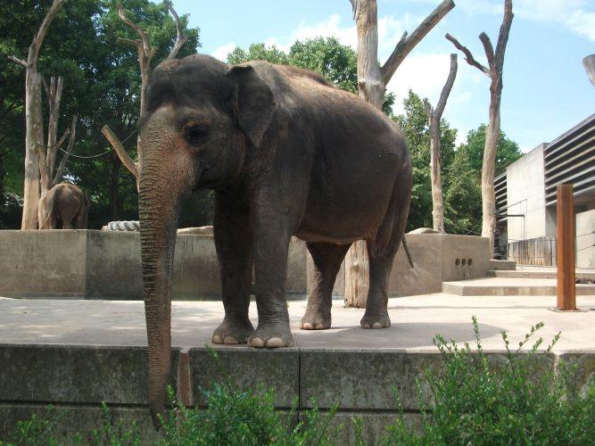 Asiatischer Elefant (Wilhelma Stuttgart)