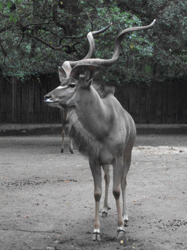 Großer Kudu, männlich (Zoo Duisburg)