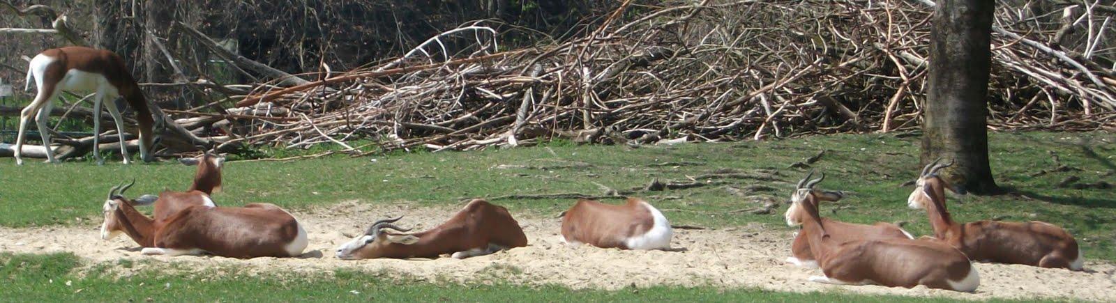 Mhorrgazelle (Tierpark Hellabrunn)
