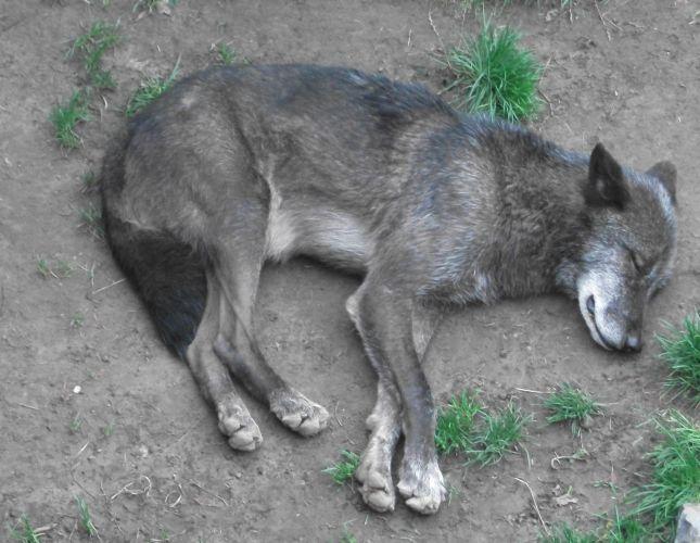 Mackenzie-Wolf (Erlebniszoo Hannover)
