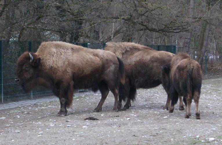 Waldbison (Tierpark Hellabrunn)