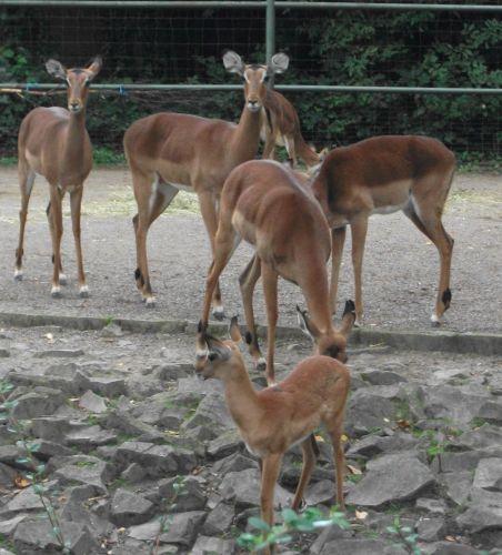 Impala (Zoo Köln)