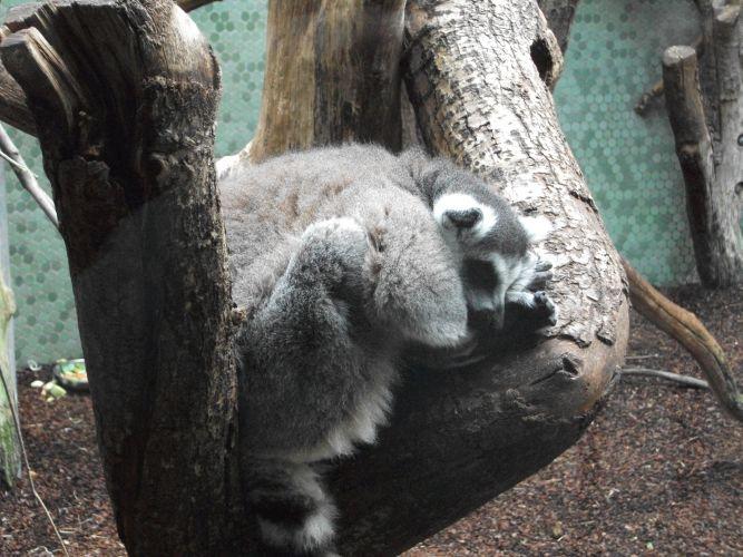 Katta (Tierpark Hellabrunn)