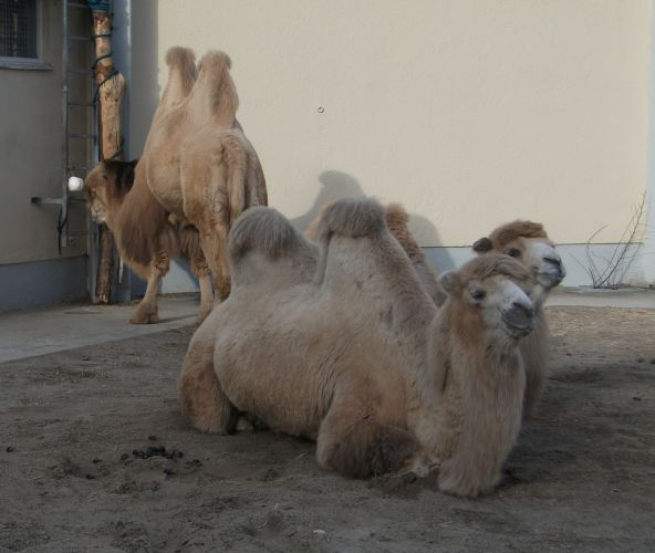 Trampeltier (Zirkus Krone Zoo)