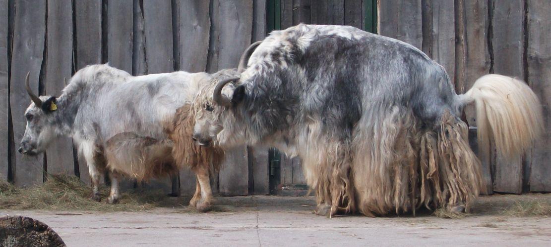 Hausyak (Thüringer Zoopark Erfurt)