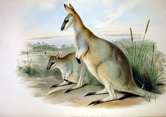 Östliches Irmawallaby (John Gould)