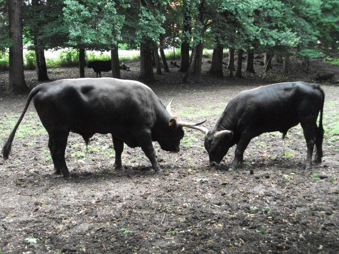 Heckrind (Tierpark Haag)