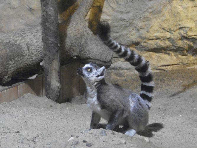 Katta (Tiergarten Wels)