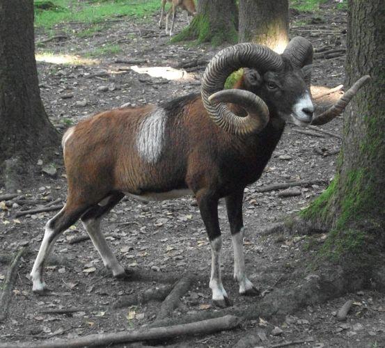 Europäischer Mufflon (Wildpark Poing)