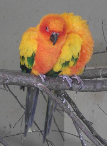 Sonnensittich (Zoo Augsburg)
