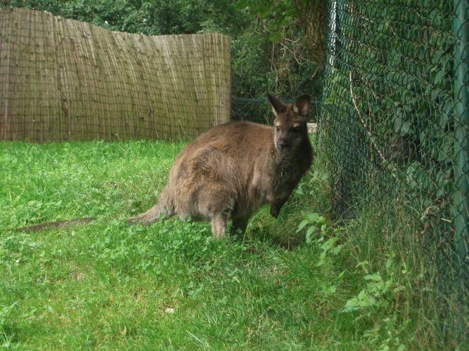 Bennetkänguru (Zoo Linz)