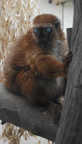 Blauaugenmaki (Zoo Köln)