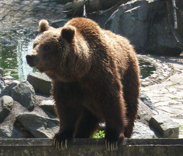 Europäischer Braunbär (Tiergarten Straubing)