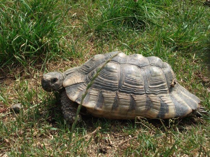 Breitrandschildkröte (Zoo Linz)