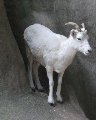 Dallschaf (Zoo Leipzig)