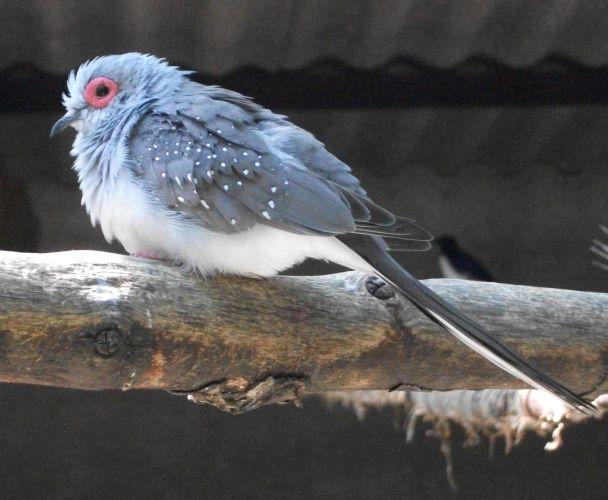 Diamanttaube (Vogelpark Irgenöd)