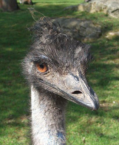 Emu (Tiergarten Straubing)
