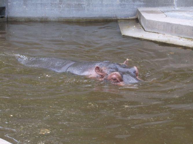 Flusspferd (Wilhelma Stuttgart)